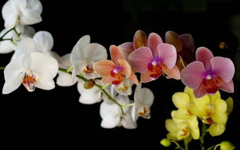 orchids-wallpaper-00691-1024x640